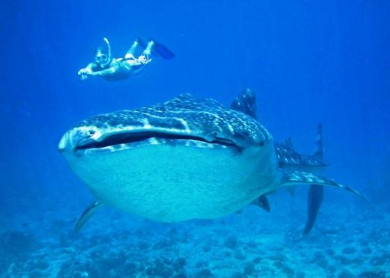 El tiburón ballena, el tesoro más preciado del turismo en Maldivas Playas del mundo