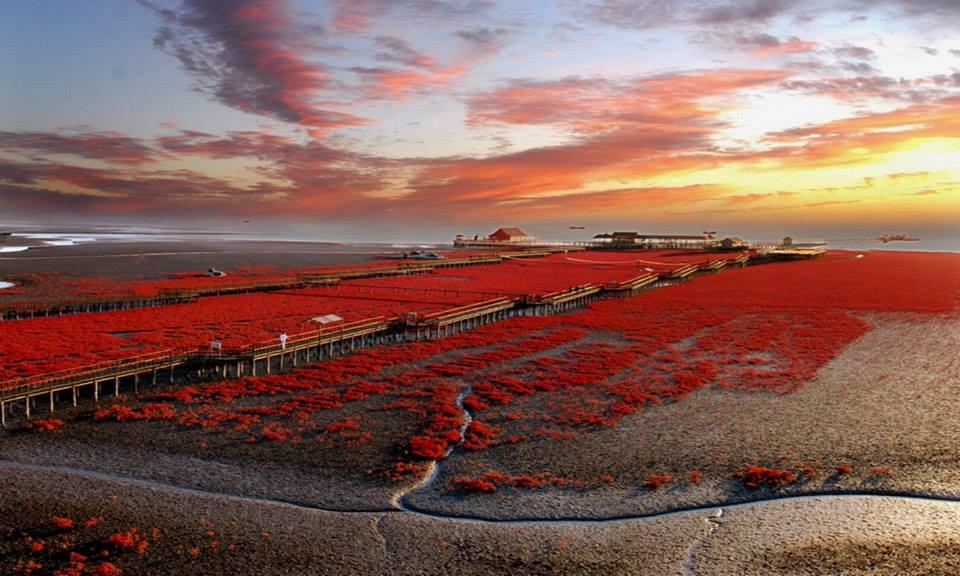 Una playa que se tiñe de rojo (en Panjin, China)